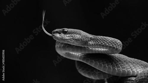 Window Murals Blue pit viper from indonesia
