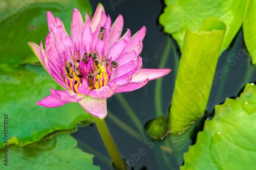 Wall Murals A Beautiful Pink Lotus Flower With Many Bees In A Pond